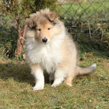 Adorable puppy of Scotch collie sitting in garden Royalty Free Stock Images