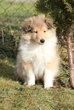 Adorable puppy of Scotch collie sitting in garden Stock Photo