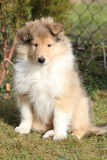 Adorable puppy of Scotch collie sitting in garden Royalty Free Stock Image