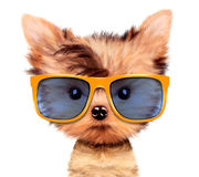 Adorable puppy with shades, isolated on white. Stock Photos