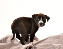 Adorable puppy on silver sheets royalty free stock image