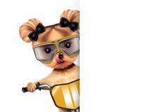 Adorable puppy sitting on a bike Stock Images