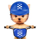 Adorable puppy sitting on a bike with helmet Stock Photo