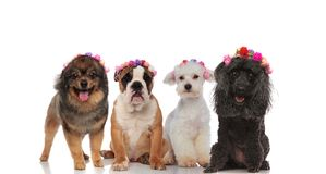 Adorable puppy spring team with flowers headbands. On a white background Stock Photography