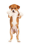Adorable Puppy Standing Begging Royalty Free Stock Photos