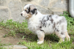 Adorable puppy standing in the garden Royalty Free Stock Photography