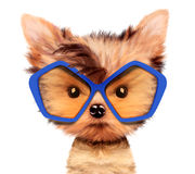 Adorable puppy with sunglasses, isolated on white. Funny adorable puppy with sunglasses, isolated on white. Realistic 3D illustration of yorkshire terrier with Stock Images