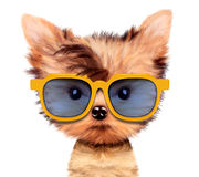 Adorable puppy with sunglasses, isolated on white. Funny adorable puppy with sunglasses, isolated on white. Realistic 3D illustration of yorkshire terrier with Stock Photos