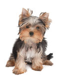 Adorable puppy Royalty Free Stock Photography