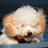 Adorable pure breed bichon frise dog Stock Photo