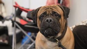 Adorable purebred pet on dog exhibition stock video