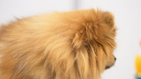 Adorable purebred pet on dog exhibition stock video footage