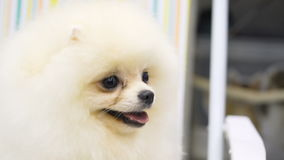 Adorable purebred pet on dog exhibition stock footage