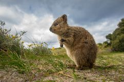 Adorable quokka kangaroo Stock Photo