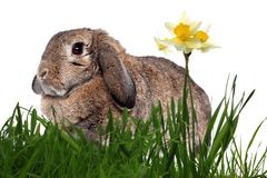 Adorable rabbit in green grass with daffodils Stock Photo