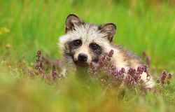 Adorable raccoon doggy in lavender Royalty Free Stock Photo