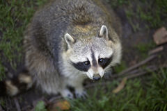 Adorable Raccoon Looking Up Stock Image