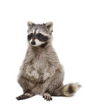 Adorable raccoon Stock Images