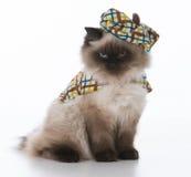 Adorable ragdoll cat Stock Image