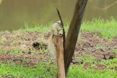 An adorable, rare white squirrel holds tight and gnaws away at a long piece of bark, while hunched on top of a tree support log. royalty free stock photography