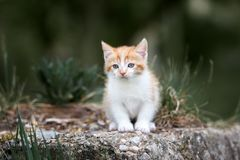 Free Adorable Red And White Kitten Posing Outdoors Stock Image - 147642731