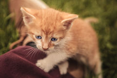 Adorable red baby cat with blue eyes Stock Photography