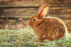 Adorable red bunny on straw. Against blurred background Stock Photos