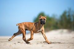 Adorable red cane corso puppy on a beach Stock Photos