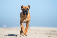 Adorable red cane corso puppy on a beach Stock Images