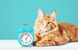 Adorable red cat with clock on table. Red clock cat adorable table color background stock photography