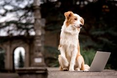 Adorable red dog border collie sitting on railing and playing laptop with happiness face stock photos