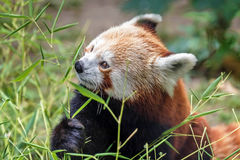 Adorable red panda Stock Image
