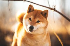Adorable red shiba inu dog standing on the grass in the forest at golden sunset. Close-up portraiit of adorable and happy shiba inu dog standing on the grass in stock photography