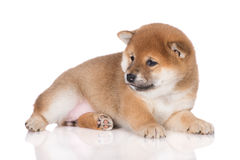 Adorable red shiba inu puppy lying down on white Stock Photo