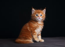 Adorable red solid maine coon kitten sitting with beautiful brus Royalty Free Stock Images