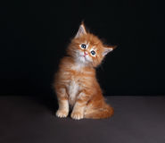 Adorable red solid maine coon kitten sitting with beautiful brus Stock Photo