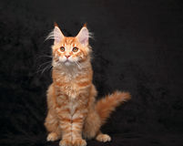 Adorable red solid maine coon kitten sitting with beautiful brus Royalty Free Stock Image
