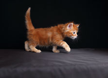 Adorable red solid maine coon kitten walking with beautiful brus Royalty Free Stock Photos