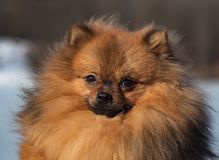 Adorable red spitz puppy portrait. Close up. Adorable red spitz puppy portrait. Close up royalty free stock photography