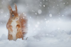 Adorable red squirrel in winter snow Stock Photos