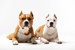 Adorable red and white dogs downs at white background royalty free stock photos