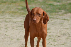 Adorable Redbone Coonhound Standing Alone Stock Image
