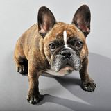 Adorable Reverse Brindle Male French Bulldog. NEW YORK - OCTOBER 21: An adorable reverse brindle male French Bulldog in New York City on October 21, 2010. The Royalty Free Stock Photos
