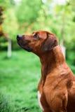 Adorable Rhodesian Ridgeback male profile portrait Stock Photography