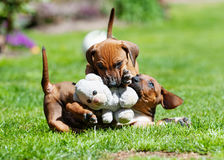 Adorable Rhodesian Ridgeback puppies playing Stock Photography