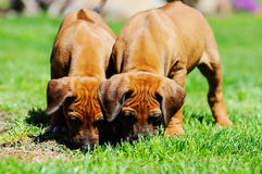 Adorable Rhodesian Ridgeback puppies playing Stock Photos