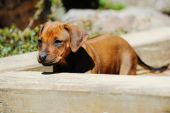 Adorable Rhodesian Ridgeback puppy in sandbox Royalty Free Stock Photography