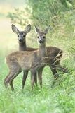 Adorable roe deers Royalty Free Stock Image