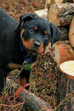 Adorable Rottweiler Puppy Stock Image