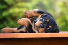 Adorable rottweiler puppy lying down. Rottweiler puppy outdoors in summer Stock Photo